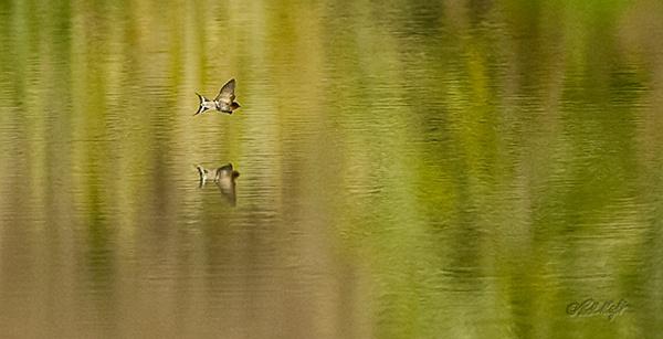 Lagoon swallows 0052 by paulknight