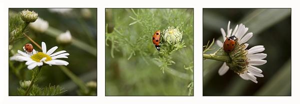 Ladybird Triptych by Irishkate