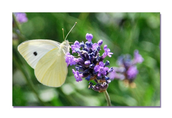 Lilac & White by stephens55