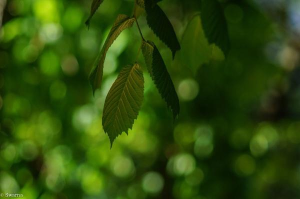 Green leaves of Summer III by Swarnadip