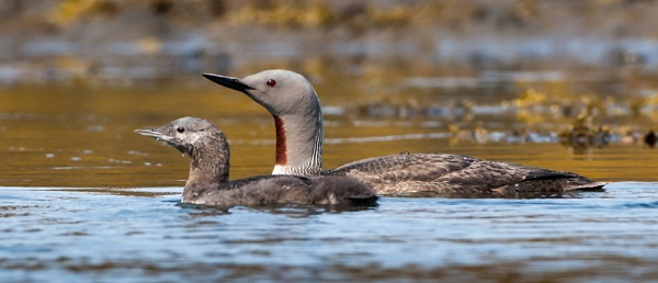 Red Throated Diver & Chick by ron thomas