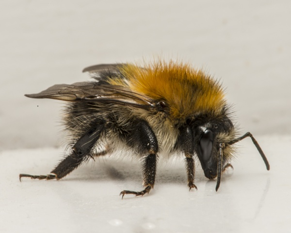 Common Carder Bumblebee? by OceanOak