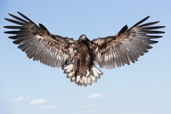 angel wings by bzbee