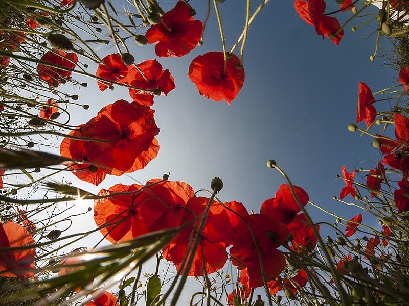 Feild Poppies