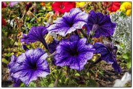 Petunia purple flower