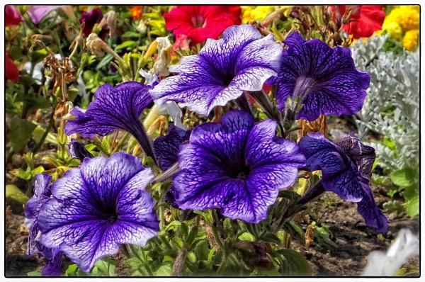 Petunia purple flower by paulmanneringphotos
