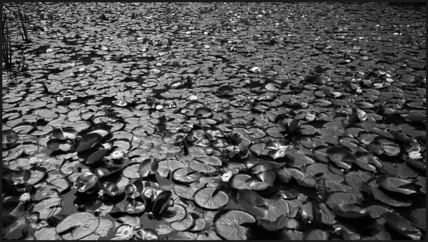Lily Pads by bwlchmawr