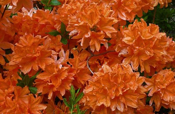 Rhoto in Orange by Polycarp