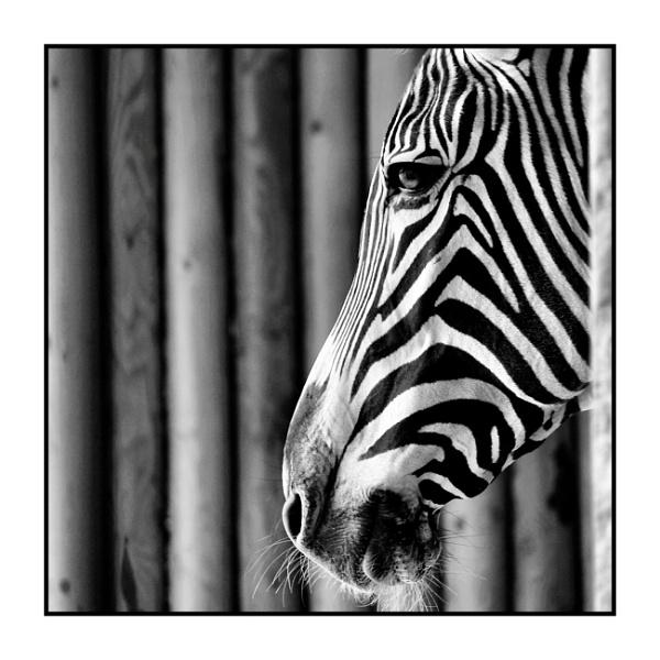 The Roman Zebra by alistairfarrugia