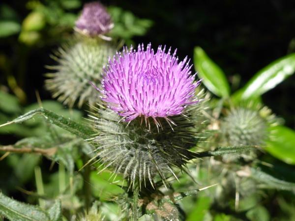 Pretty purple prickles by Anne66