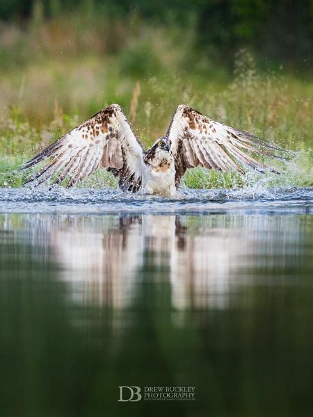 Osprey Lift Off by drewbphoto