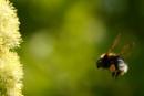 Bee in flight by Michymoo22