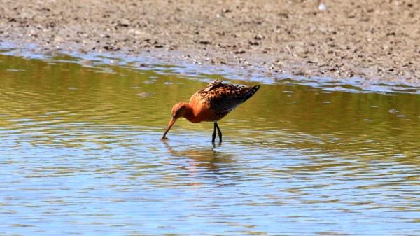 Bird identity - Black-Tailed Godwit? by fcast