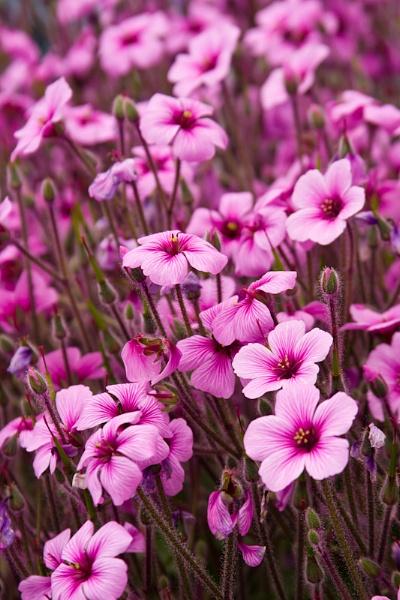 Perennial-Oxalis Adenophylla flowers by garnham123