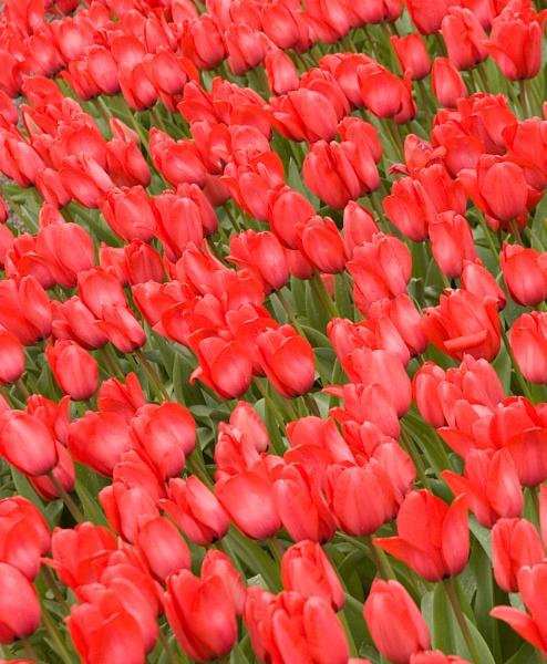 Bright red Tulips by garnham123