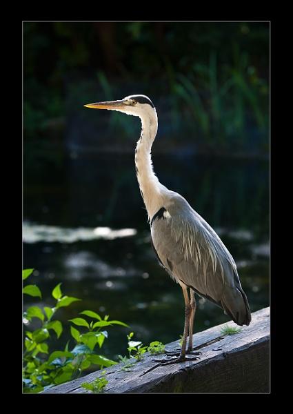 Royal Heron by AMS1