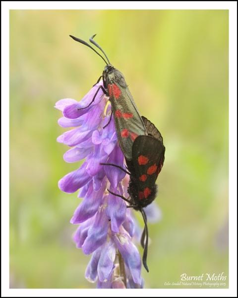 Burnet Moths by Norfolkboy
