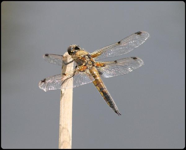 National Dragonfly Week by Glostopcat