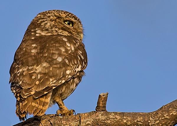Little Owl by fatmod