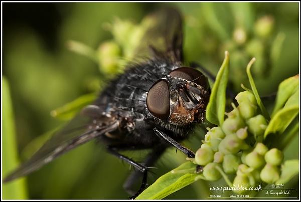 Blowfly by Paul_Iddon