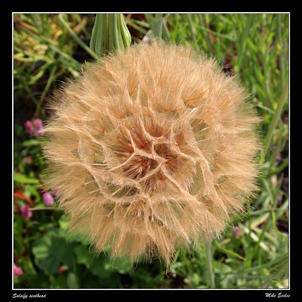 Salsify seedhead by oldgreyheron