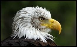 Eagle - Banham - Norfolk.
