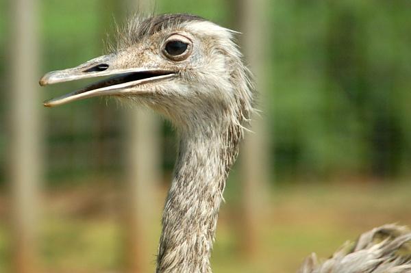 Ostrich by robbenwick