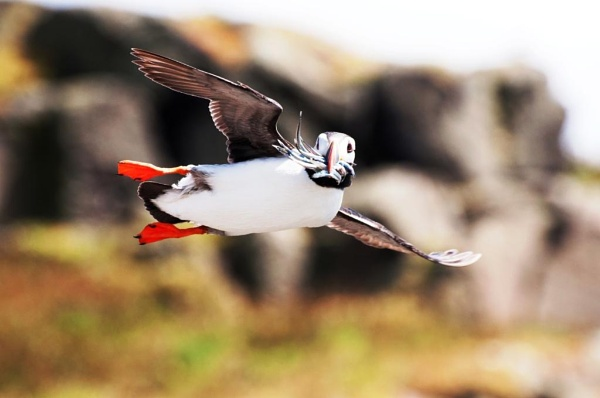 Puffin by Mike_Reid