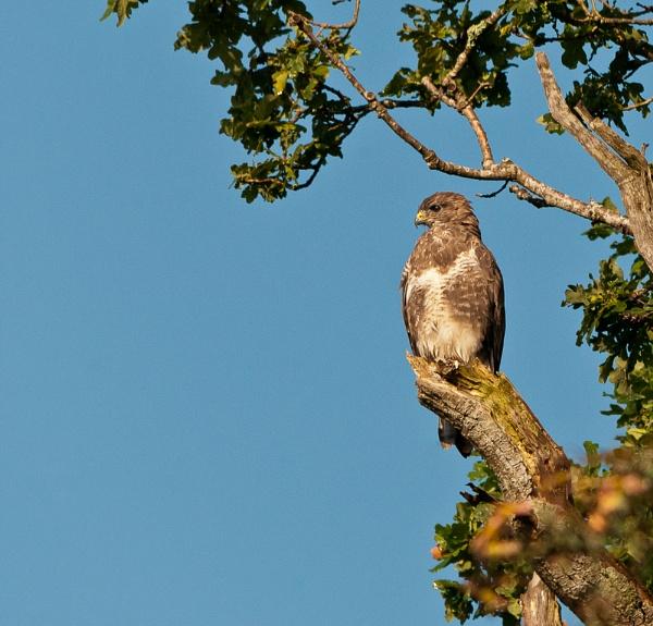 Buzzard in Oak by Scutter