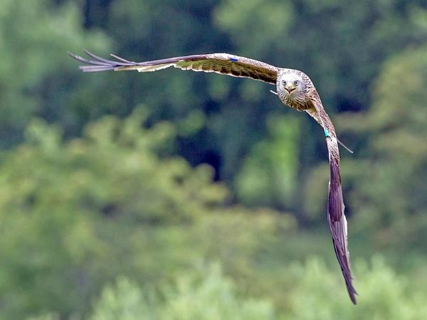 Red Kite by Grangeflyer