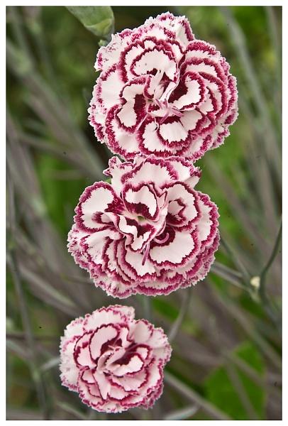 Carnation Trio by strokebloke