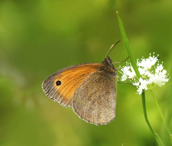 Meadow brown by bluetitblue