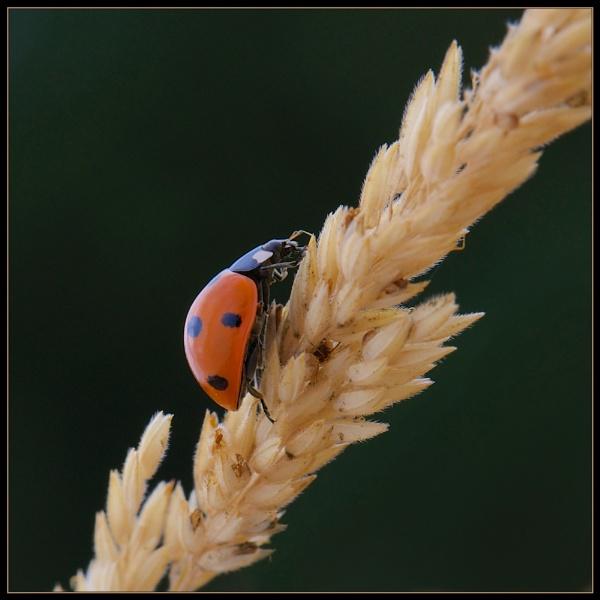 Ladybug by mjparmy