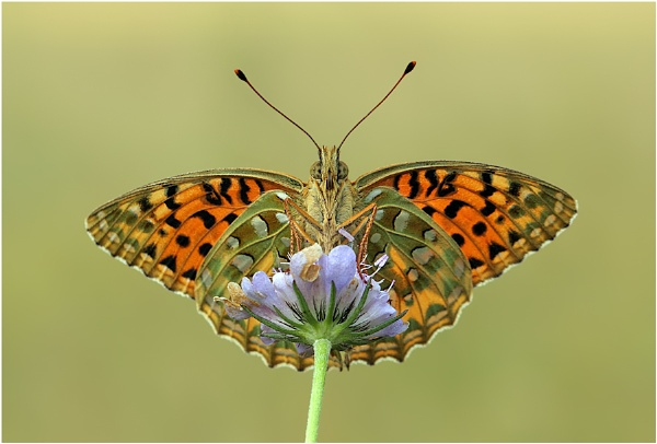 Dark Green Fritillary by NigelKiteley