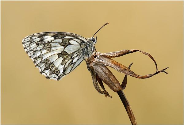 Marbled White by NigelKiteley