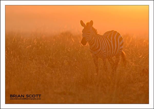 Mara Zebra by Brian_Scott