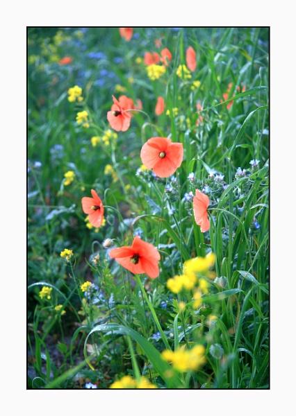 Machair in bloom, South Uist by jdgrimsay