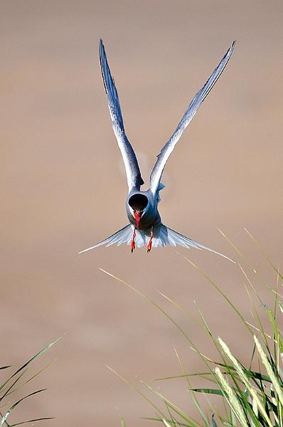 Arctic Tern by icphoto
