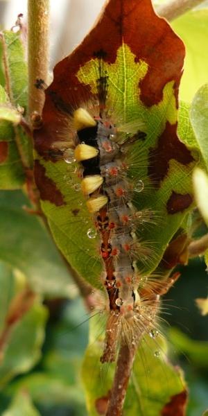 Vapourer moth Caterpillar by longhoss