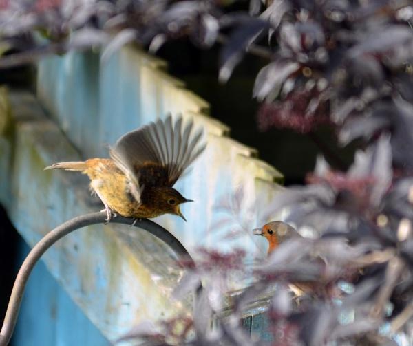 Juvenile Robin Begging for Food by chrismonks