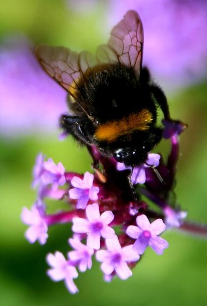 Bee by Siametha