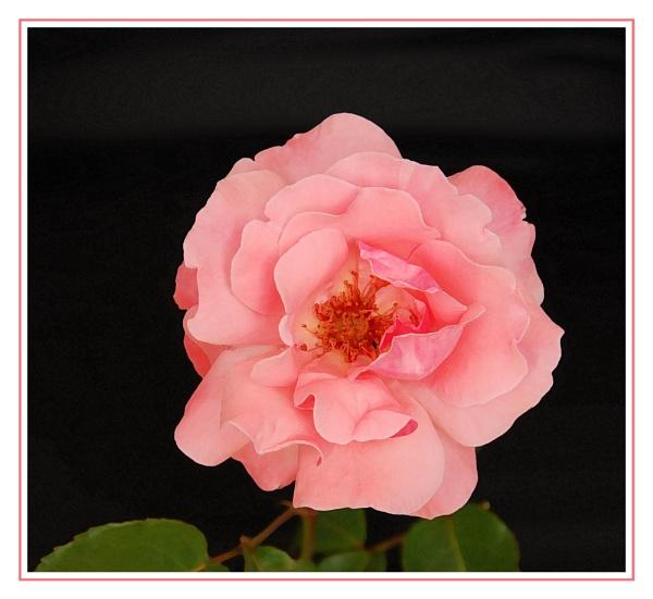 Garden Rose by stephens55