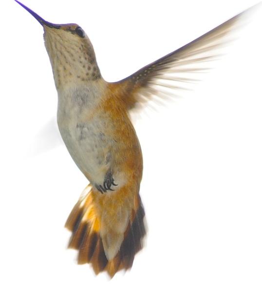 Hummingbird in flight by StuartDavie