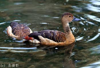 Wild Duck?