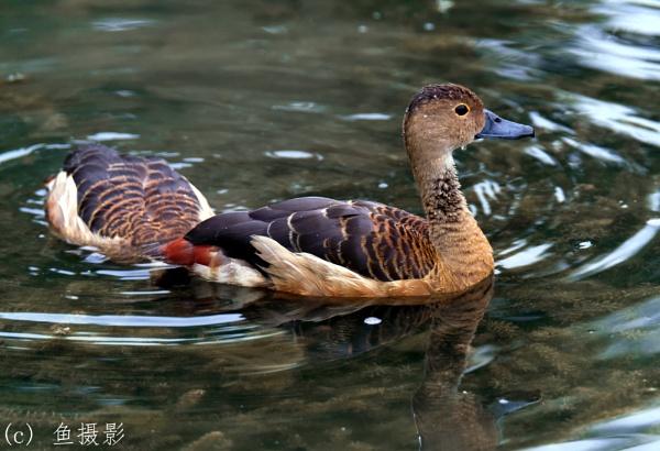 Wild Duck? by Benlib