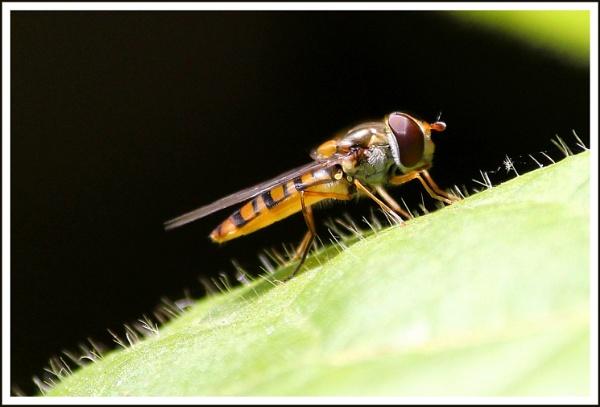 Hoverfly at Boboli Gardens by alistairfarrugia