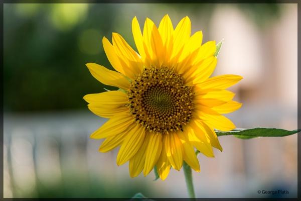 Sunflower by GeorgePlatis