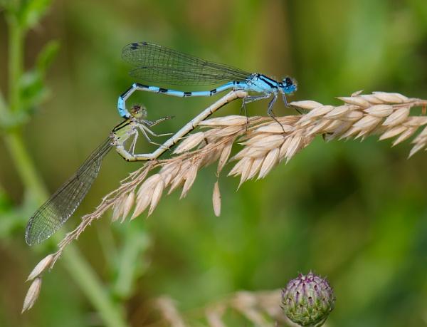 Blue Damselflies mating by LouG