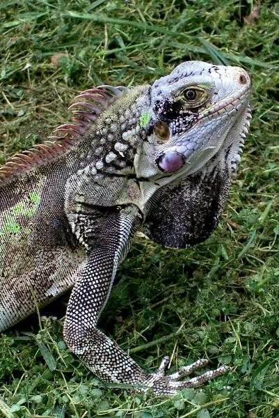 Here Lizard, Lizard, Lizard by Potra