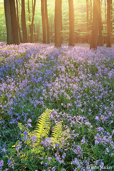 Enchanted Bluebell wood by SteveMackay
